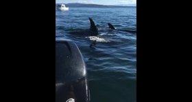 Robbe rettet sich auf Schlauchboot vor Orcas