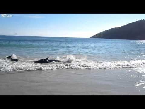Gute Nachricht: 30 Delfine gerettet - Video