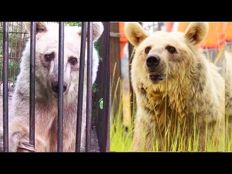 Positive Nachrichten - Video: Vier Bären wieder in Freiheit