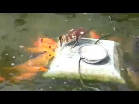 Ente füttert Fische